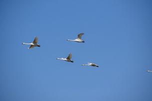 春の青空を飛ぶハクチョウの群れの写真素材 [FYI04791867]
