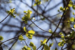 芽吹き始めた緑の若葉の写真素材 [FYI04791872]