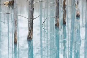 古木を映す春の青い池の水面 美瑛町の写真素材 [FYI04791883]