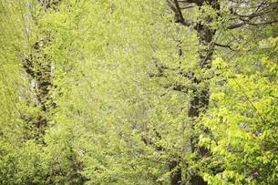 新緑のイチョウの写真素材 [FYI04791958]