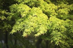 爽やかなモミジの若葉の写真素材 [FYI04791972]