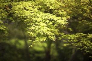 爽やかなモミジの若葉の写真素材 [FYI04791973]