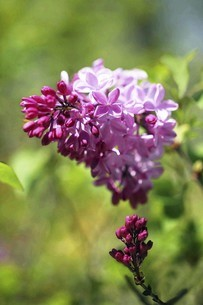 ライラックの花咲くの写真素材 [FYI04791984]