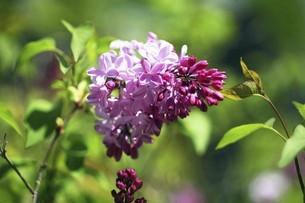 ライラックの花咲くの写真素材 [FYI04791985]