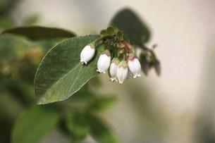 ブルーベリーの白い花の写真素材 [FYI04792030]
