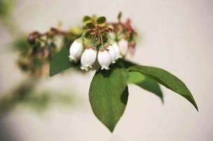 ブルーベリーの白い花の写真素材 [FYI04792031]