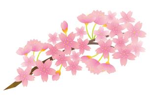 桜のイラスト素材 [FYI04792203]