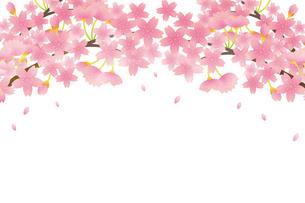 桜のイラスト素材 [FYI04792206]