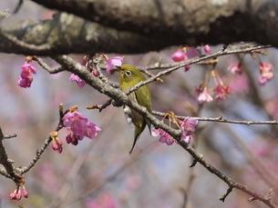 河津桜とメジロの写真素材 [FYI04792231]