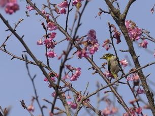 河津桜とメジロの写真素材 [FYI04792237]