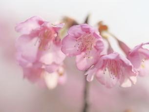 河津桜のクローズアップの写真素材 [FYI04792255]