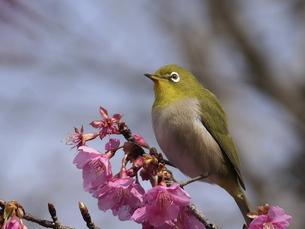 河津桜とメジロの写真素材 [FYI04792319]