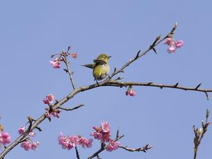 河津桜とメジロの写真素材 [FYI04792326]