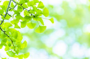イチョウの新緑の写真素材 [FYI04792416]