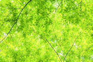 新緑の木の写真素材 [FYI04792417]