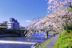 サクラの咲く鴨川の写真素材 [FYI04792481]