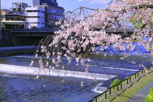 サクラの咲く鴨川の写真素材 [FYI04792483]