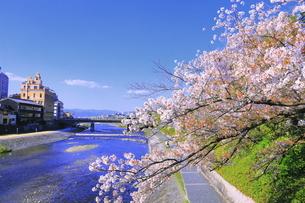 サクラの咲く鴨川の写真素材 [FYI04792485]