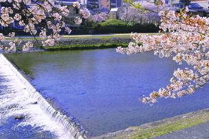 鴨川と桜の写真素材 [FYI04792492]