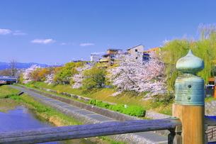 三条大橋と桜の咲く鴨川の写真素材 [FYI04792495]