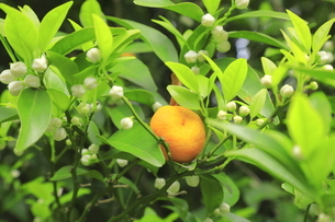 タチバナの実と花のつぼみの写真素材 [FYI04792501]