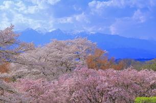 桜の咲く大草城址公園の写真素材 [FYI04792564]