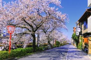 桜の咲く川端通りの写真素材 [FYI04792594]