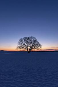 北海道冬の風景 夜明けのハルニレの木の写真素材 [FYI04792633]