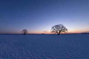 北海道冬の風景 夜明けのハルニレの木の写真素材 [FYI04792636]