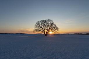 北海道冬の風景 夜明けのハルニレの木の写真素材 [FYI04792639]