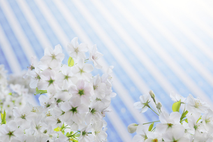 ビルと桜の写真素材 [FYI04792722]