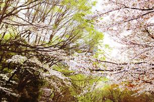 新緑の樹木と桜 西新宿の写真素材 [FYI04792745]