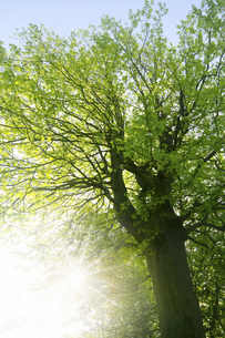 大樹と太陽の写真素材 [FYI04792889]