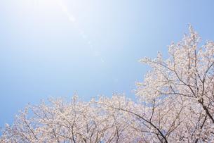 太陽と桜の写真素材 [FYI04792920]