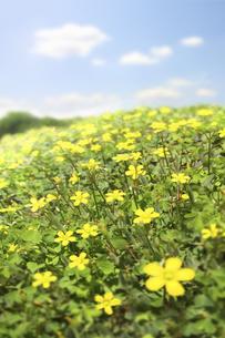 一面の黄色の野花の写真素材 [FYI04792925]