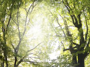 太陽 大樹の写真素材 [FYI04792926]