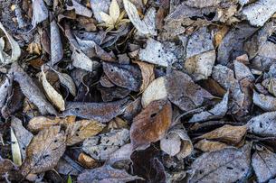 落ち葉の霜の写真素材 [FYI04792998]