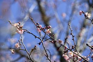 梅の花の写真素材 [FYI04793019]