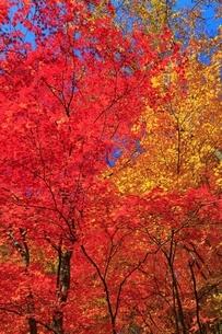 松川渓谷の紅葉の写真素材 [FYI04793303]