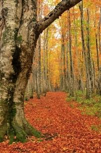 八甲田 ブナ林の紅葉と道の写真素材 [FYI04793307]