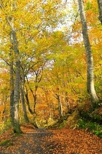 白神山地 ブナ林の紅葉と道の写真素材 [FYI04793311]