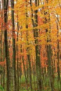 酸ヶ湯 ブナ林の紅葉の写真素材 [FYI04793340]