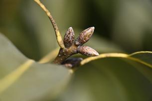 シラカシの冬芽の写真素材 [FYI04793431]