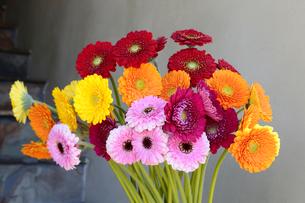 ガーベラの花の写真素材 [FYI04793506]