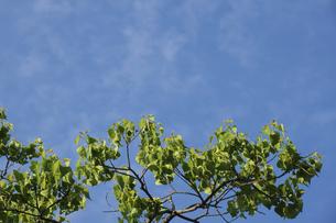 ナンキンハゼの新緑の写真素材 [FYI04793545]