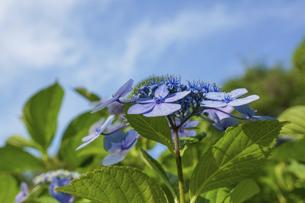 青空の紫陽花の写真素材 [FYI04793553]