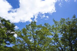 夏空と雲とけやきの木の写真素材 [FYI04793556]