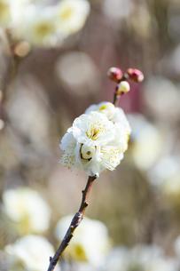 早春の白梅の写真素材 [FYI04793591]