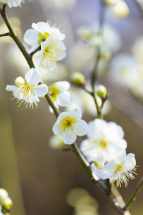 早春の白梅の写真素材 [FYI04793592]