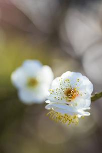 早春の白梅の写真素材 [FYI04793594]